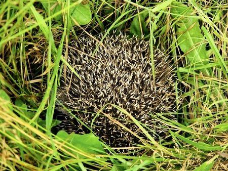 panoply: hedgehog Stock Photo