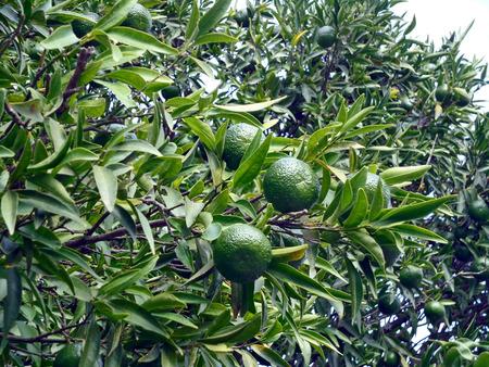naranja arbol: Naranjo
