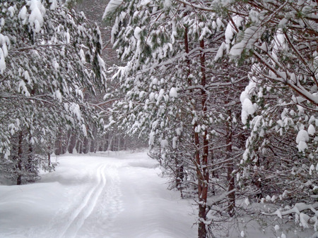 ski traces: Winter road in the forest