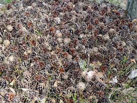 heap: Heap of pine cones