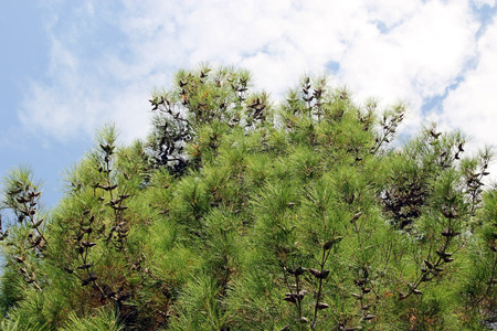 conifer: Branches of the conifer in the background of the sky