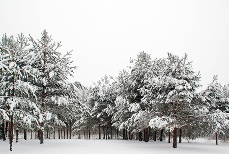 pine trees: winter forest