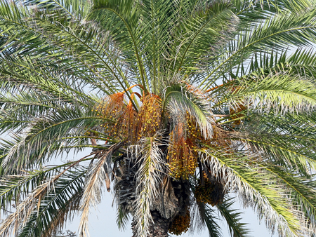 palm: The palm tree Stock Photo