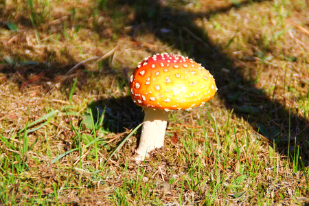 amanita: amanita mushroom  Stock Photo