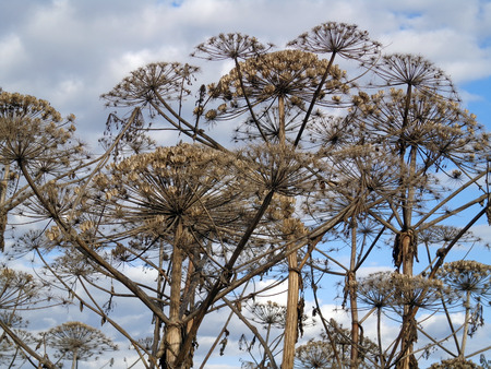 umbel: Stems and umbrellas of the large plants Stock Photo