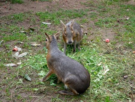 patagonian: Patagonian hares