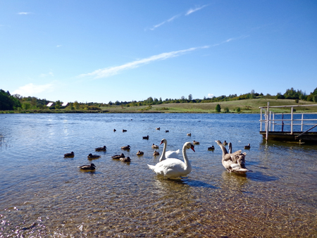 Swans and wild ducks in the shallow water of the lake Stock Photo