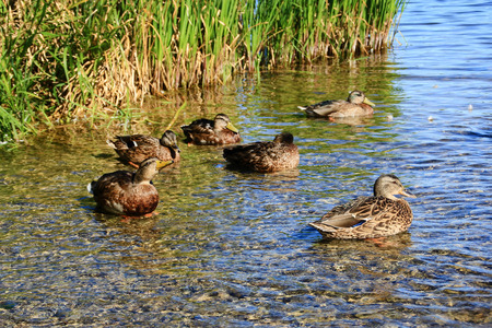 Wild ducks in the shallow water