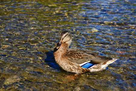 Wild duck in the shallow water of the lake Stock Photo
