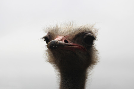 Head of the ostrich on the background of the grey sky