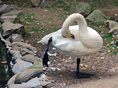 Swan is cleaned at the edge of the pond