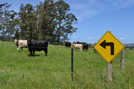 Turn Left! And The Cows in a Farm... Stock Photo