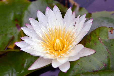 muddy: The bright lotus flower. Pic was taken in August 2017.