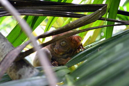 Philippine Tarsier in Cebu, The Philippines. Often considered as the smallest monkey, yet it's not true. It's the contender of the biggest eye-to-body proportion.