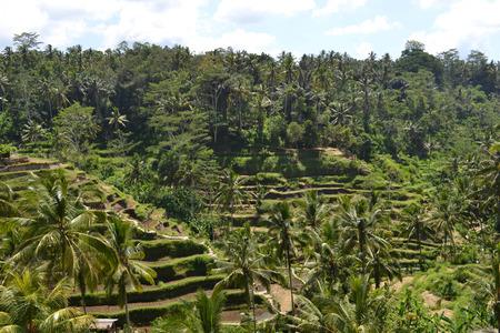 The rice field in Ubud - Bali.
