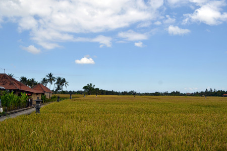 The rice field in Ubud - Bali. A simple view yet amazingly it can be so relaxing. Pic was taken in May 2017. Фото со стока