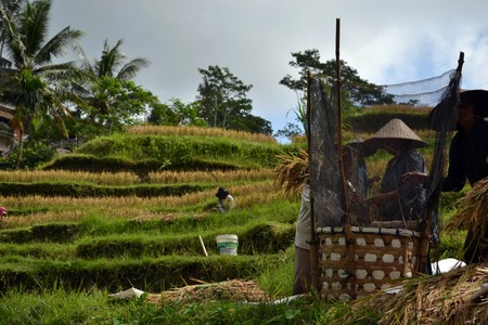 The rice field in Bali. Its constructed using a philosophy of subak