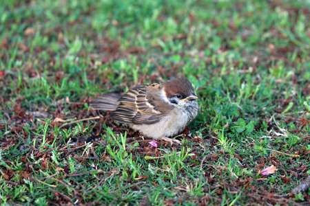 A bird, sparrow, in one park in Beppu, Japan. Taken in April 2019.