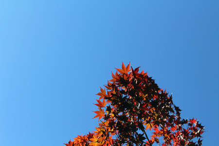 Red maple leaves on branches during spring season in Japan.