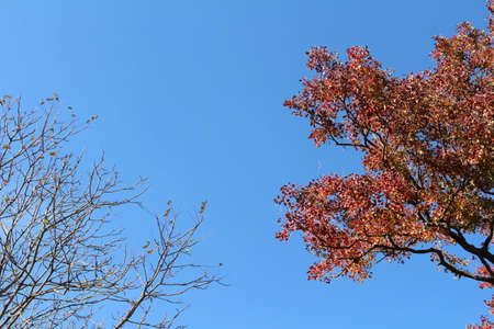 Lonesome red ginkgo tree and withered branches during spring season in Japan.