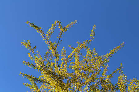 Lonesome yellow ginkgo tree during spring season in Japan.