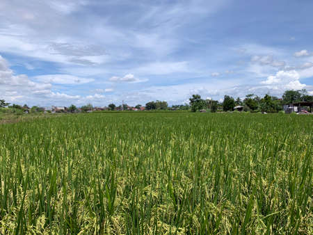 Rice or paddy field getting yellow in Java, Indonesia.