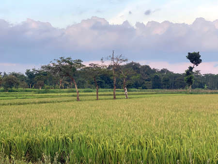 Rice or paddy field in Java, Indonesia.