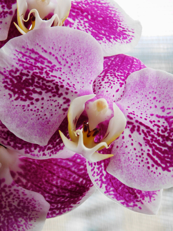 Beautiful purle-white orchid macro photo.