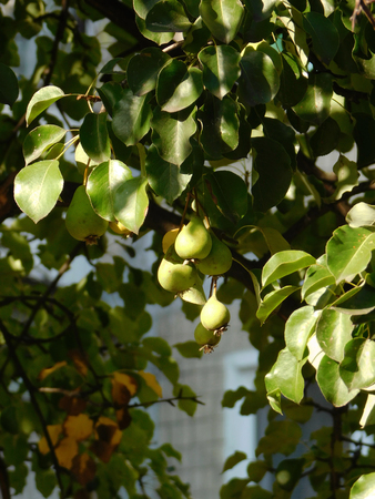 Pear branch with fruits.