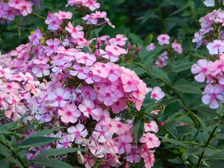 creeping plant: Pink phlox on flowerbed. Stock Photo