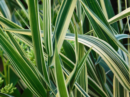 Yucca leaves close-up photo.