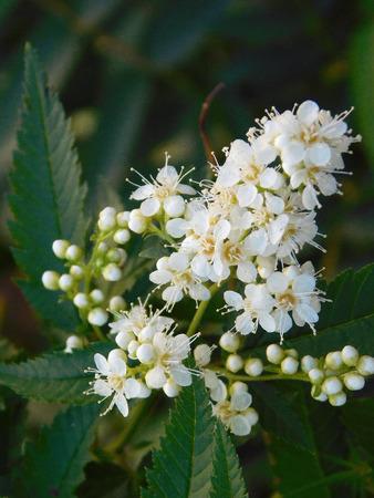 Beautiful japanese rowan white flowers close-up photo.