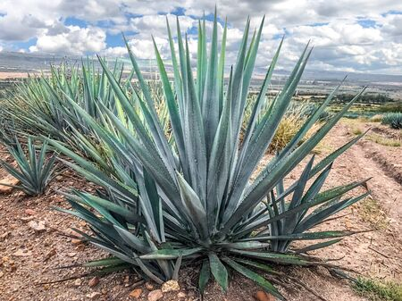 blue agave plant, ready to make tequila. The tall ones. Jalisco Mexico 免版税图像