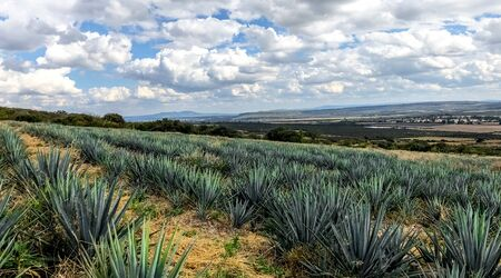 blue agave plant, ready to make tequila. The tall ones. Jalisco Mexico
