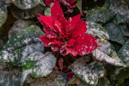 Christmas flower contaminated with plague. Good night sick. Plant with pest