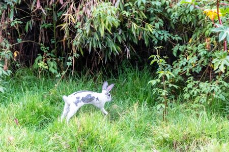 Rabbit in the wild. Farm animal for human consumption. This animal can have offspring every 3 months
