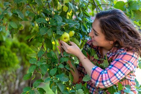 Beautiful young woman picking ripe organic apples in wooden crate in orchard or on farm on a fall day 版權商用圖片
