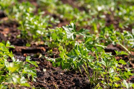 Natural organic vegetables grown in nourished soil. Agricultural plant sprout. Land crops.. Green environment