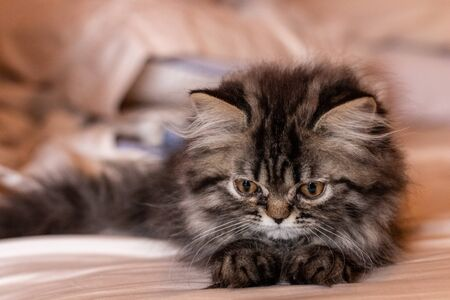 Beautiful two-month-old Persian cat resting. Pets 版權商用圖片