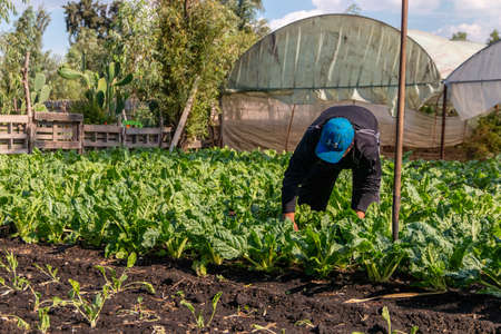 Xochimilco, CDMX. Mexico June 14, 2020. Organic vegetable crops for Xochimilco salad along the floating gardens or Chinampas in Mexico City