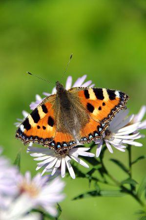 pokrzywka: Motyl pokrzywka