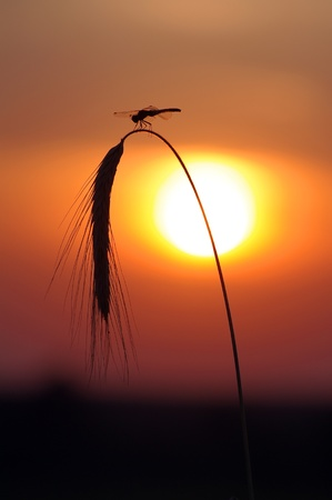 Dragonfly sits on the backdrop of the setting sun Stock Photo