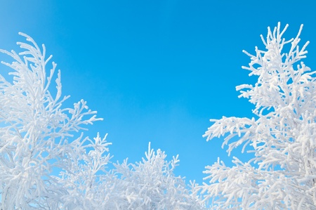 frozen trees: Trees in hoarfrost.