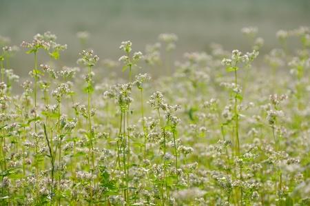 Buckwheat. Field of flowering buckwheat. A warm summer day. Stock Photo