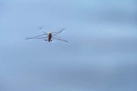 predatory insect: Pond skater. Pond skater on water surface.