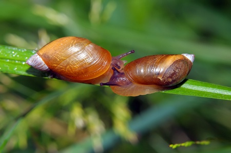 Two snails have met on the green grass Stock Photo