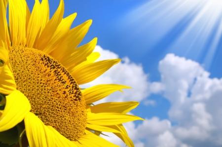Sonnenblume. Sonnenblume gegenüber dem sonnigen himmel hintergrund Lizenzfreie Bilder