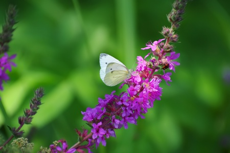 Butterfly in the sun sitting on a purple flower Stock Photo