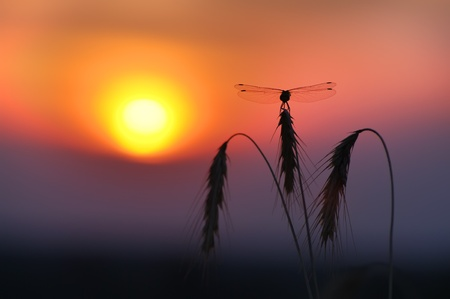 Dragonfly sits on the backdrop of the setting sun photo