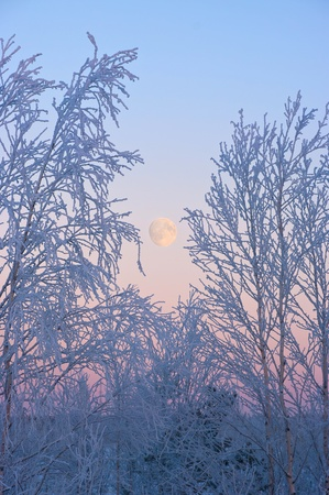 Trees in hoarfrost against the ascending moon. The evening sky. photo